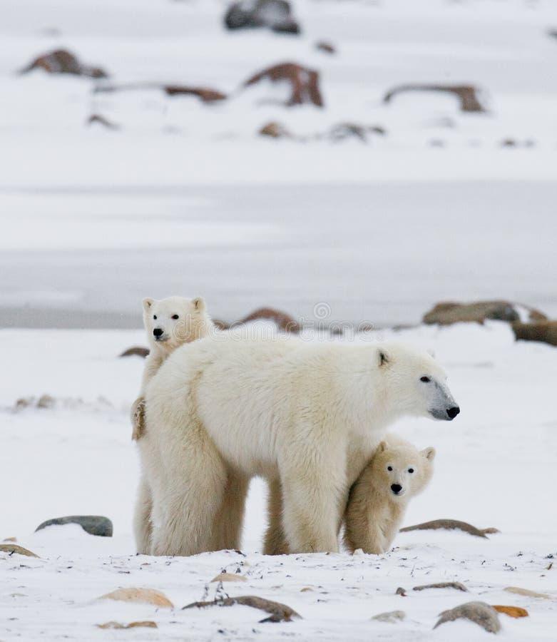Ours blanc avec petits animaux dans la toundra canada photographie stock