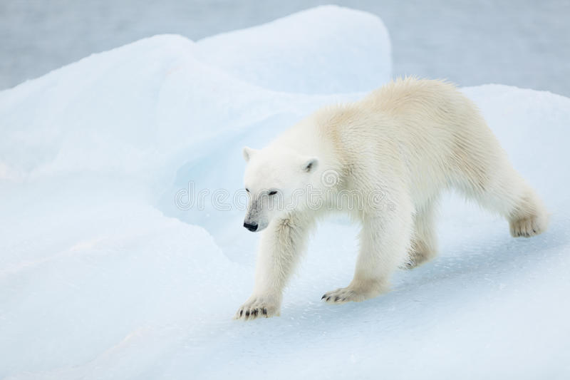 Ours blanc chez le Svalbard photo stock