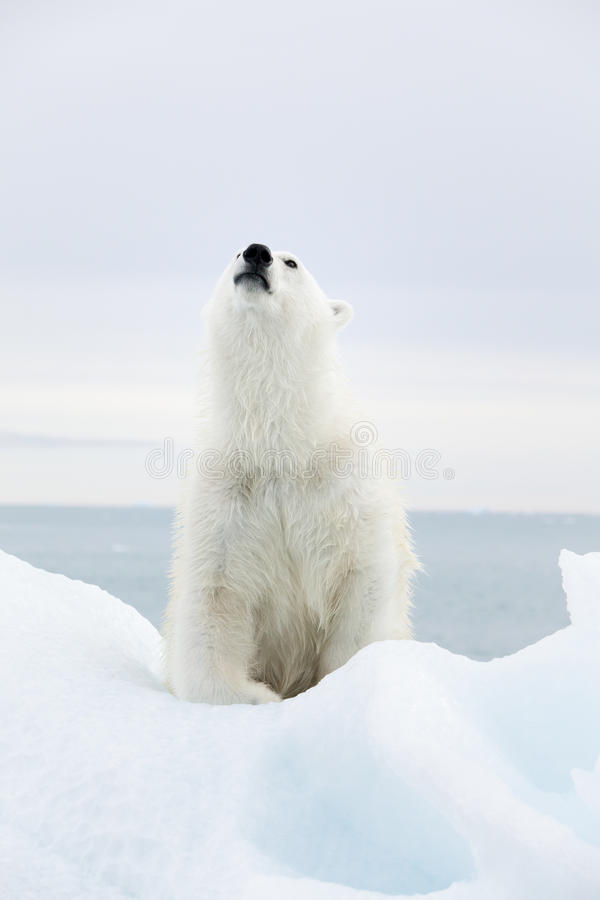 Ours blanc chez le Svalbard photos stock
