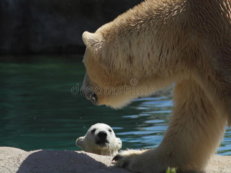 Ours blanc Cub images stock