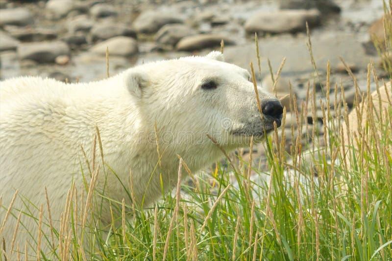 Ours blanc curieux dans l'herbe photos stock