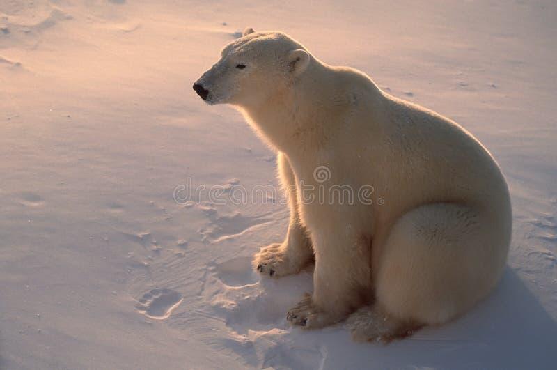 Ours blanc dans l'Arctique, éclairé à contre-jour par lumière du soleil inférieure photographie stock