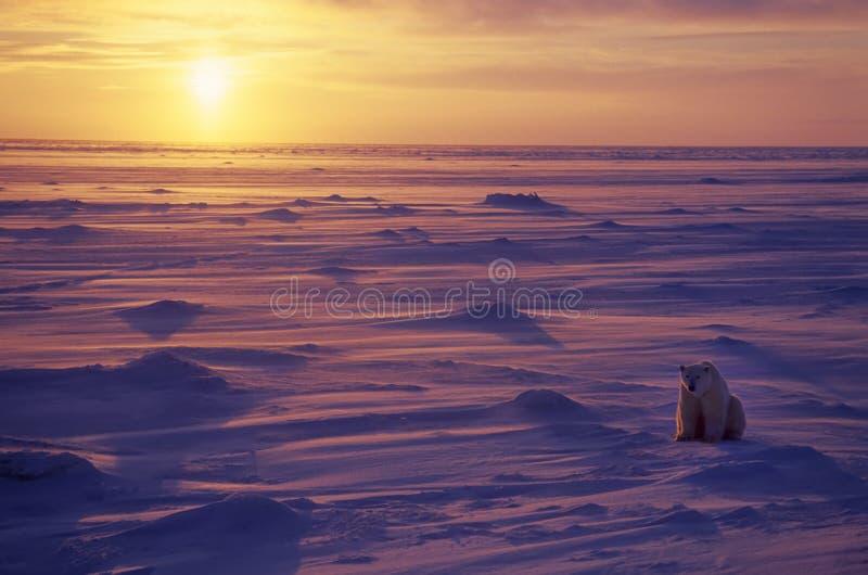 Ours blanc dans l'Arctique canadien photo libre de droits