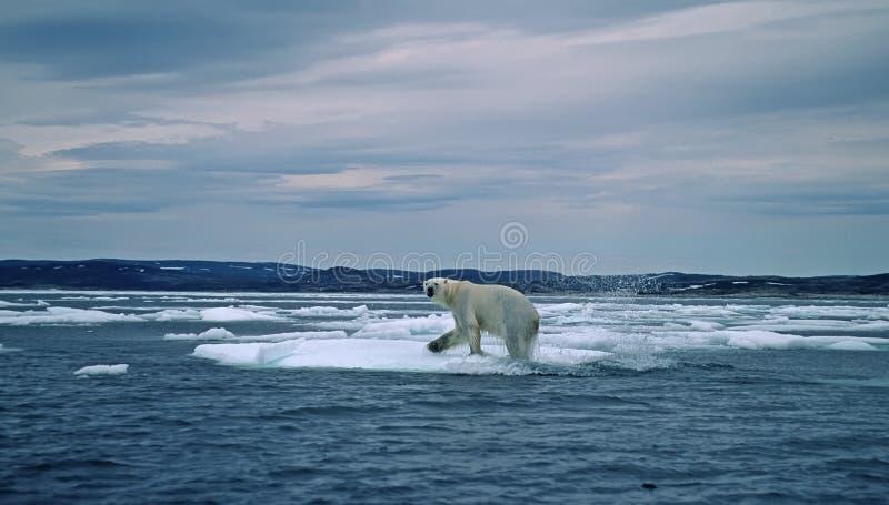 Ours blanc dans l'Arctique canadien photos libres de droits