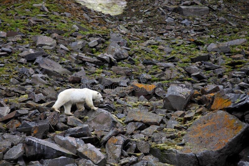 Ours blanc dans l'Arctique d'été images stock