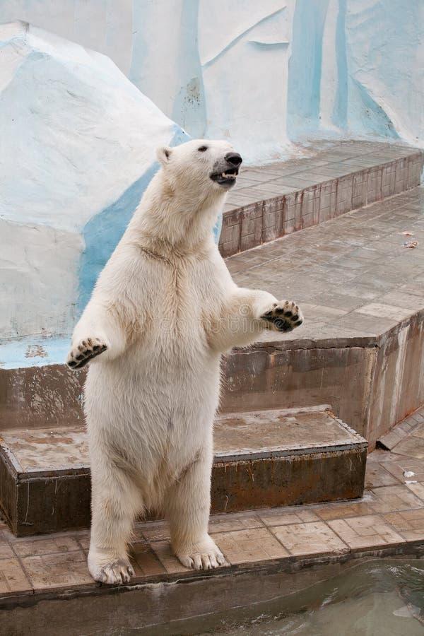 Ours blanc dans un zoo image libre de droits