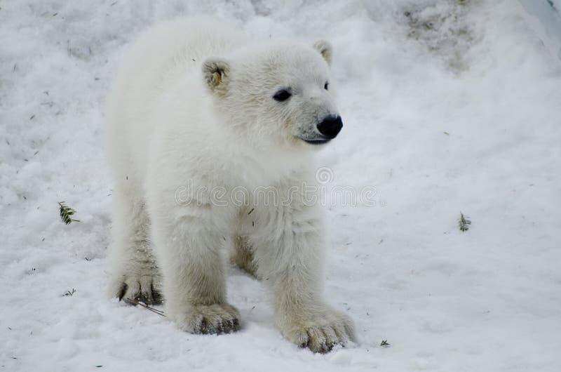 Ours blanc de bébé du zoo de Toronto photo stock