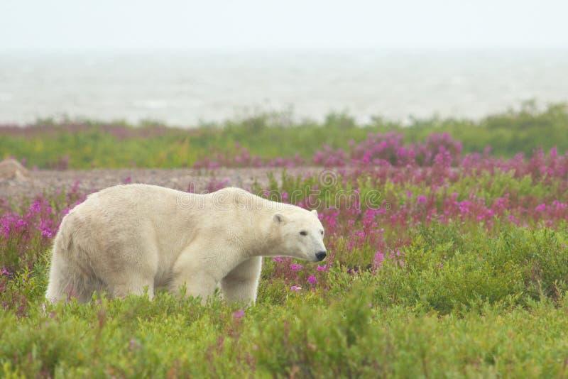 Ours blanc de marche 2 photos libres de droits