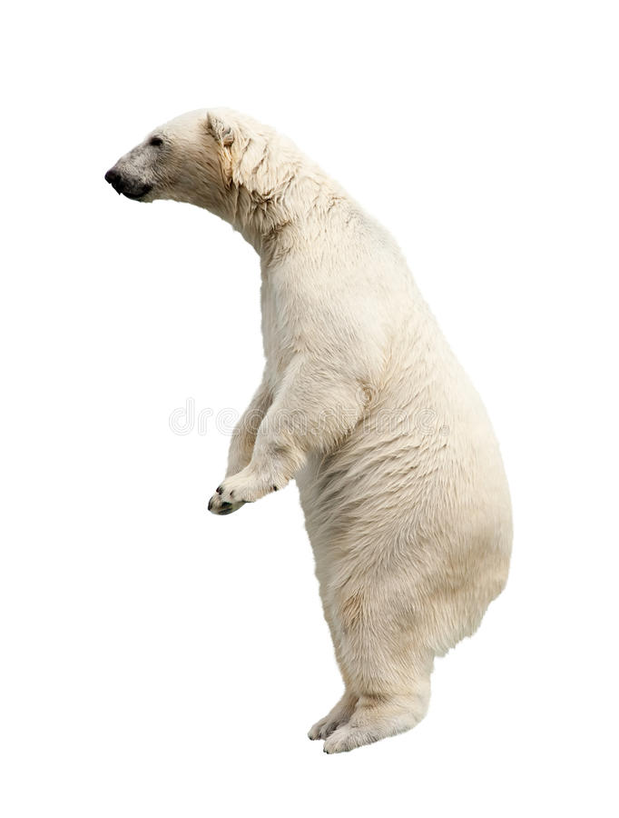 Ours blanc debout photo stock