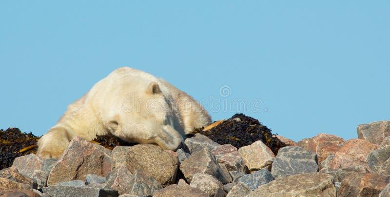 Ours blanc dormant sur des roches photographie stock libre de droits