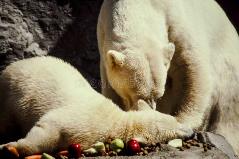 Ours blanc et CUB de mère photographie stock libre de droits