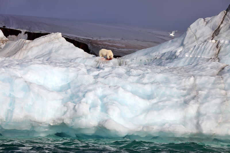 Ours blanc et mouette glauque sur l'iceberg images stock