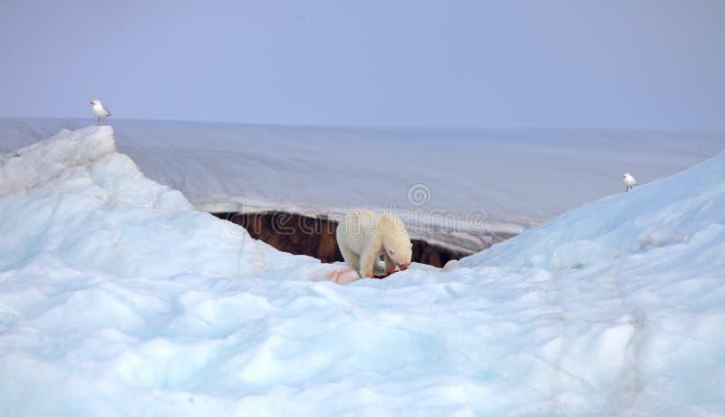 Ours blanc et mouettes arctiques photos libres de droits