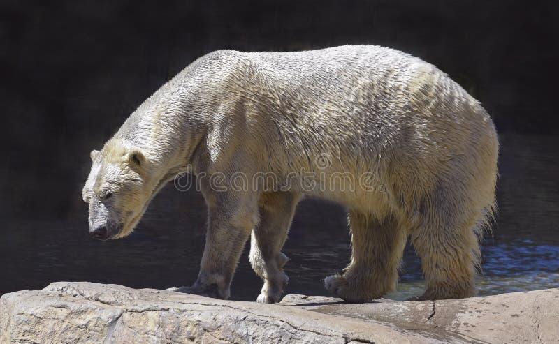 Ours blanc humide marchant sur les rochers naturels photo libre de droits