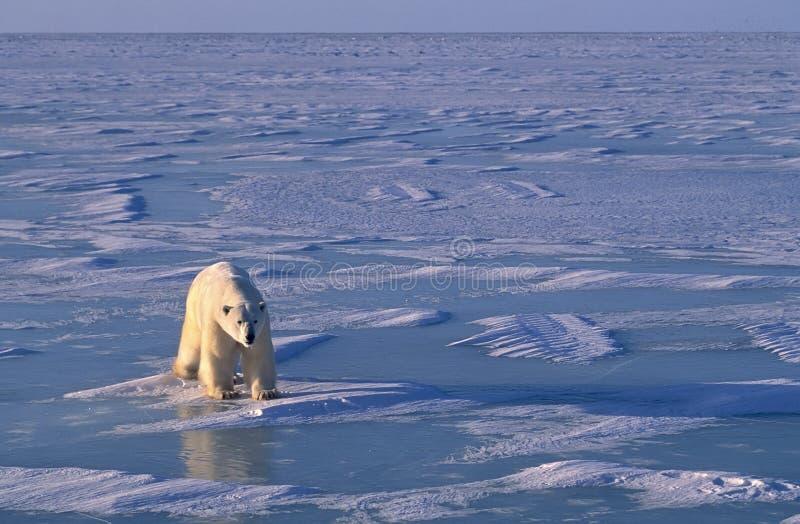 Ours blanc, lumière inférieure de bon côté dans l'Arctique photo stock