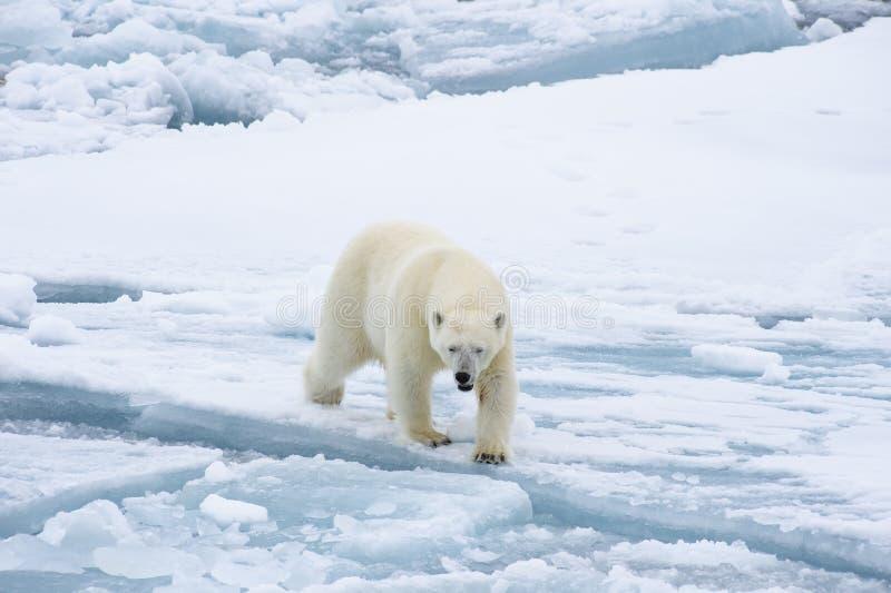 Ours blanc marchant dans un Arctique images stock