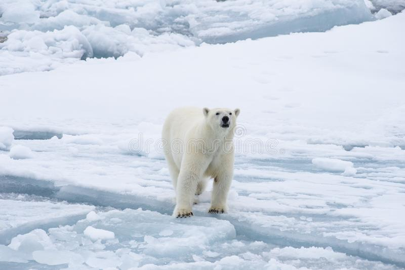 Ours blanc marchant dans un Arctique photographie stock libre de droits
