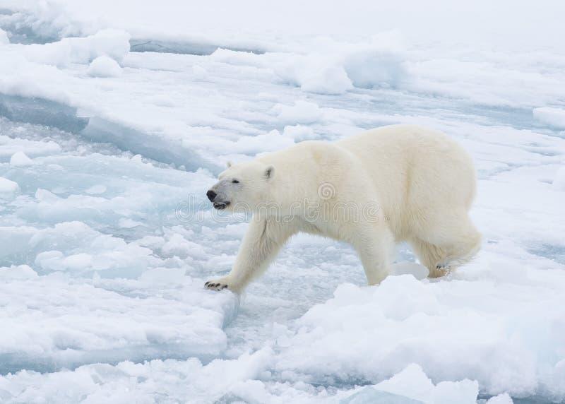 Ours blanc marchant dans un Arctique images libres de droits