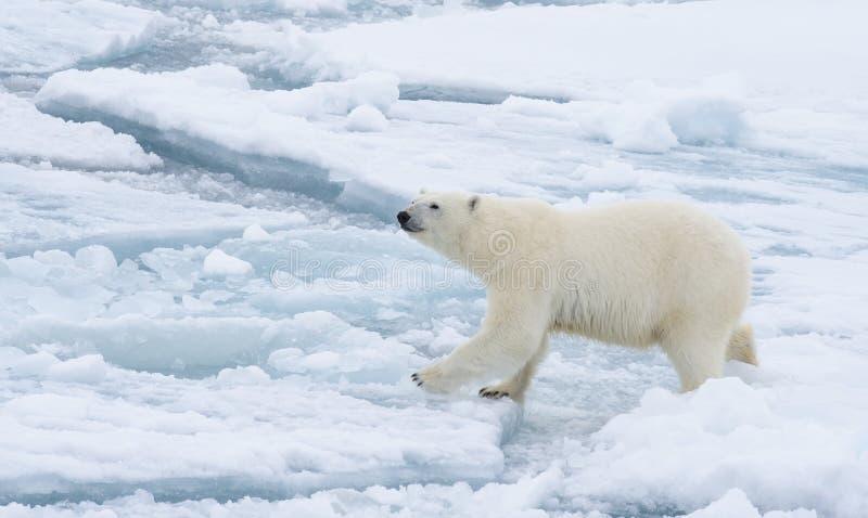 Ours blanc marchant dans un Arctique image stock