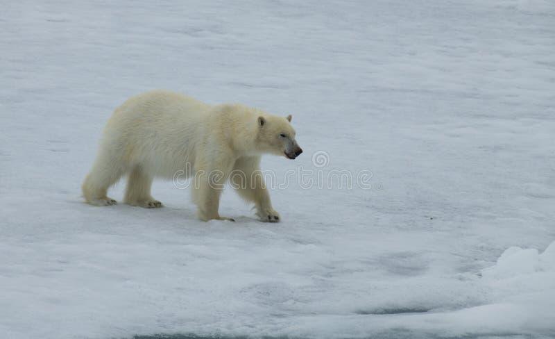 Ours blanc marchant dans un Arctique photo stock