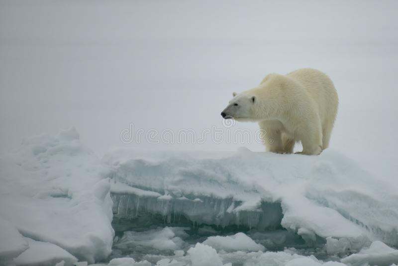 Ours blanc marchant dans un Arctique photo libre de droits