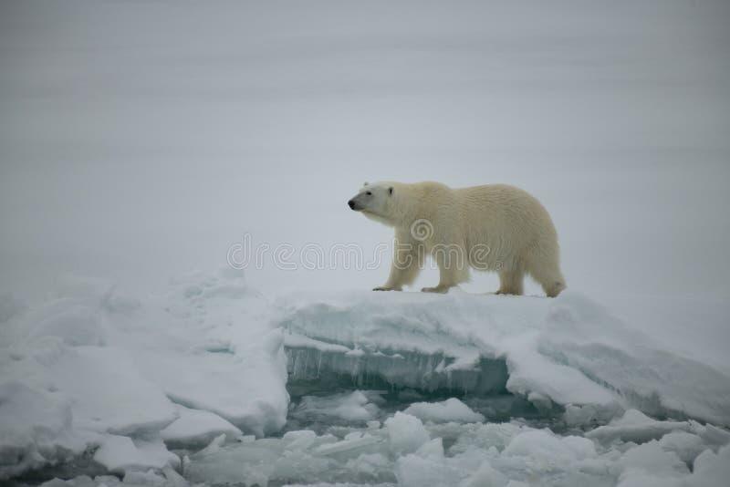 Ours blanc marchant dans un Arctique photos stock
