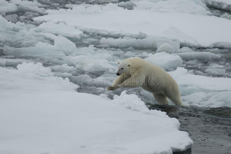 Ours blanc marchant dans un Arctique photographie stock