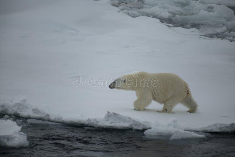Ours blanc marchant dans un Arctique image libre de droits