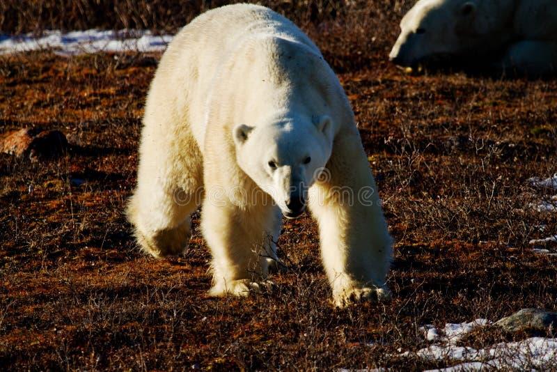 Ours blanc marchant vers la personne photo stock
