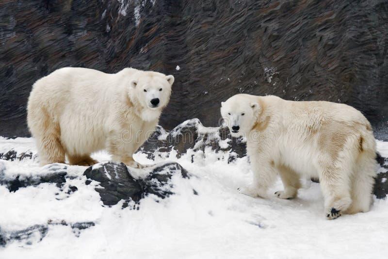 Ours blanc - maritimus d'Ursus photographie stock