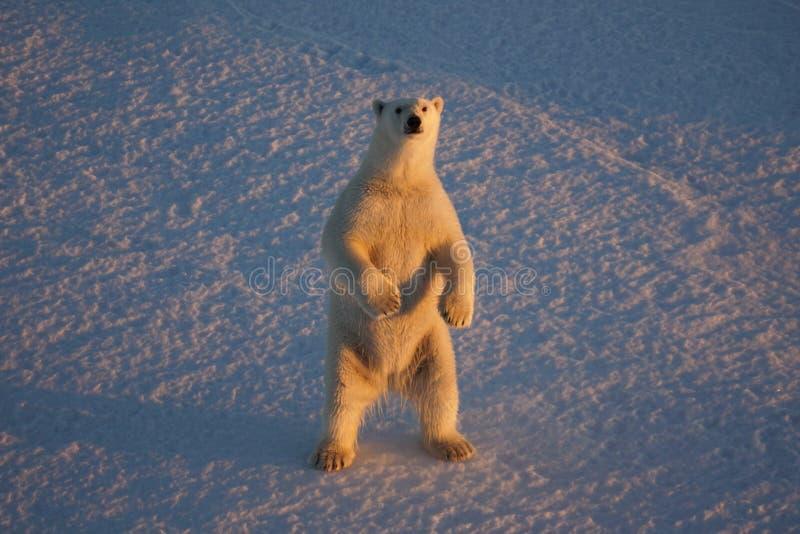 Ours blanc, maritimus d'Ursus recherchant de la mer de Beaufort photographie stock libre de droits