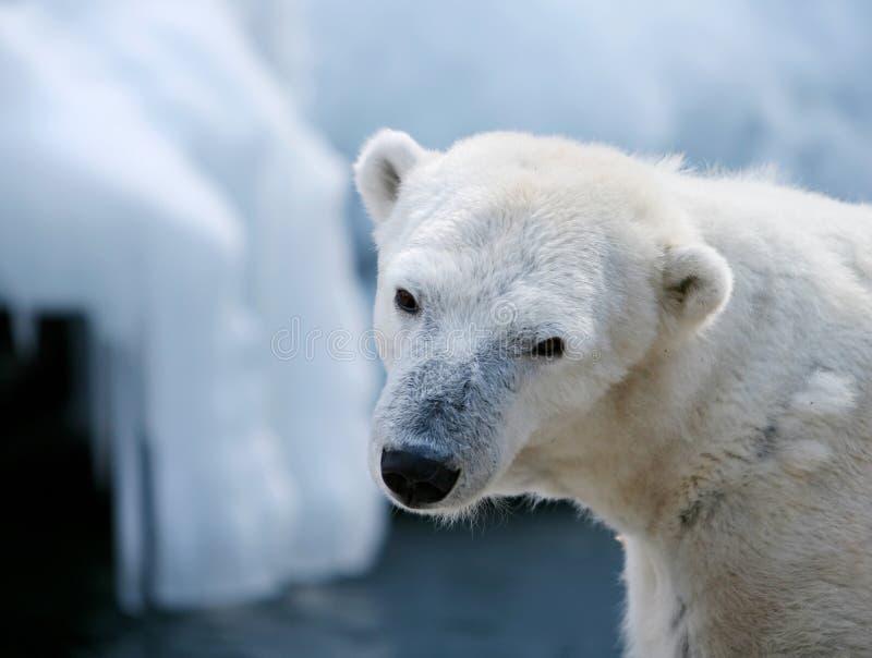 Ours blanc mignon image libre de droits