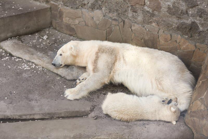Ours blanc mignon avec l'petit animal dans le jardin zoologique photographie stock
