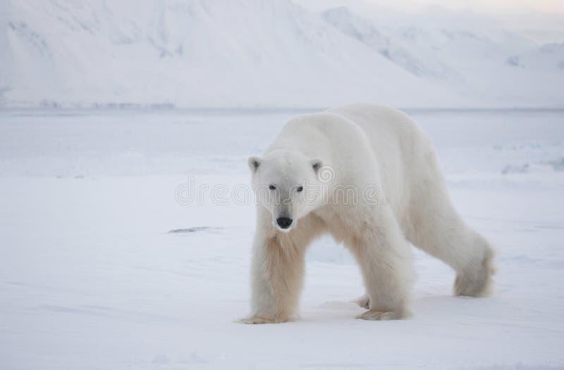 Ours blanc, roi de l'Arctique image stock