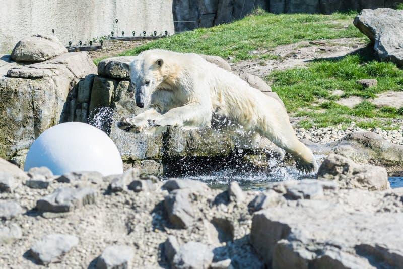 Ours blanc sautant dans l'eau photos stock