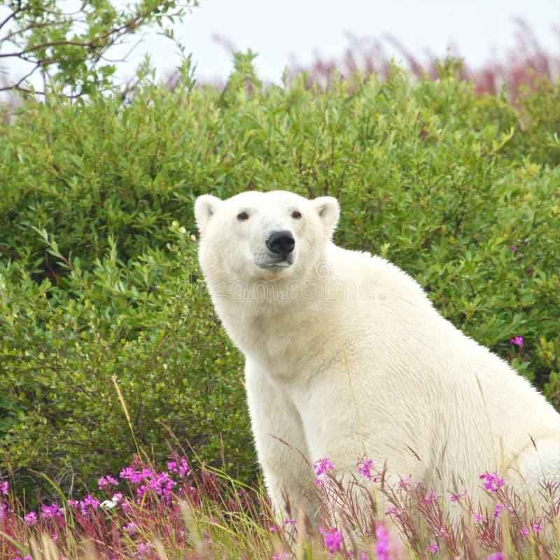 Ours blanc se reposant dans l'herbe images stock