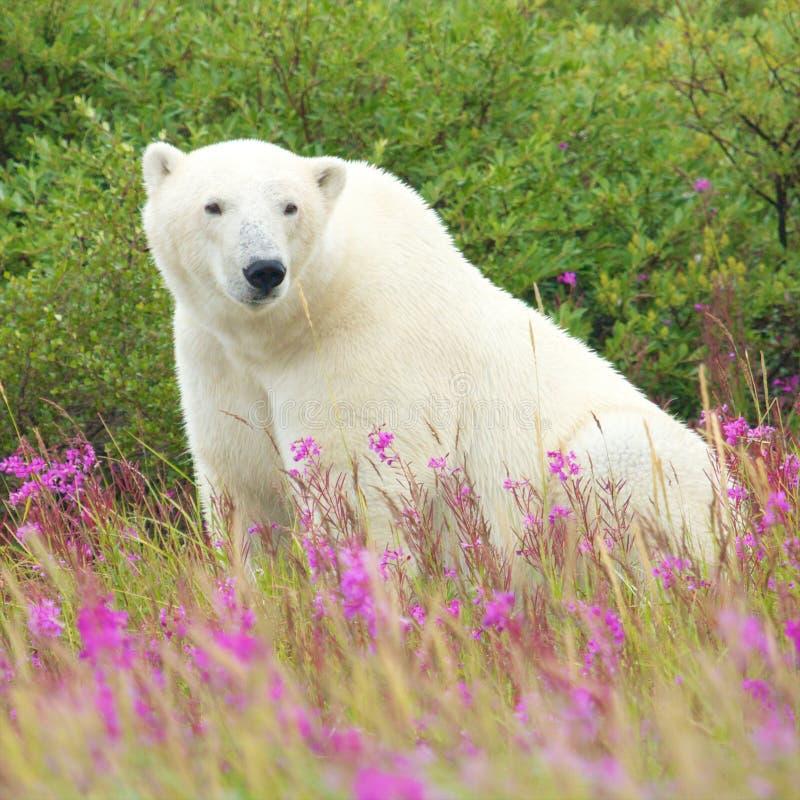 Ours blanc se reposant dans l'herbe photographie stock libre de droits