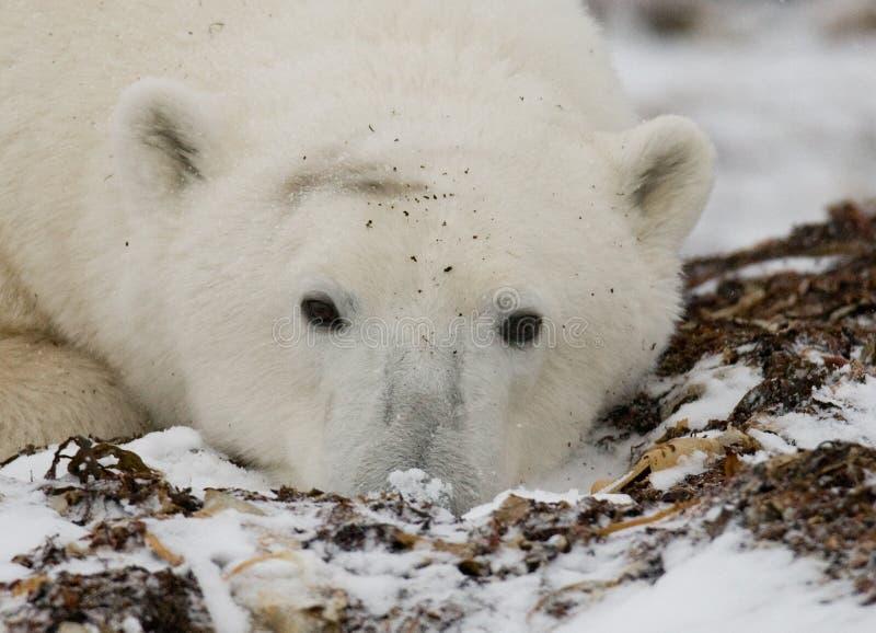 Ours blanc se situant dans la neige dans la toundra canada Parc national de Churchill images libres de droits