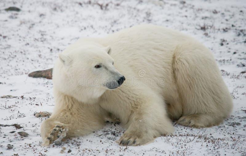 Ours blanc se situant dans la neige dans la toundra canada Parc national de Churchill photo libre de droits