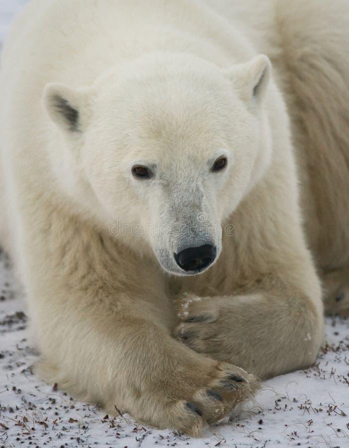 Ours blanc se situant dans la neige dans la toundra canada Parc national de Churchill images stock