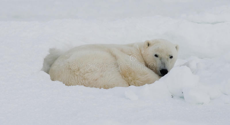 Ours blanc se situant dans la neige dans la toundra canada Parc national de Churchill photo libre de droits