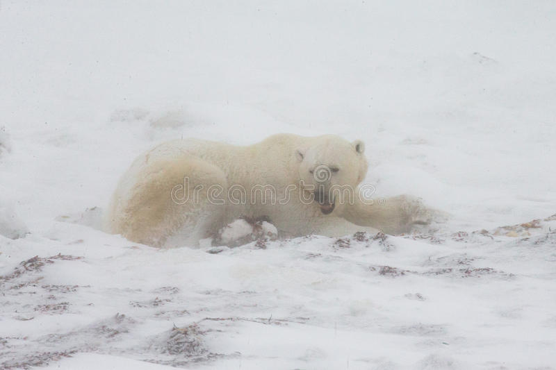 Ours blanc se situant dans la neige dans la toundra canada Parc national de Churchill photos stock