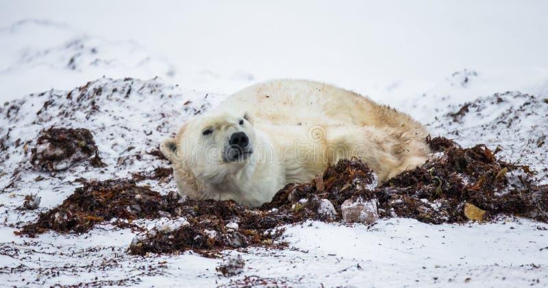 Ours blanc se situant dans la neige dans la toundra canada Parc national de Churchill photographie stock libre de droits