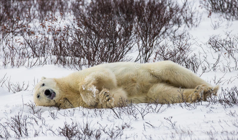 Ours blanc se situant dans la neige dans la toundra canada Parc national de Churchill photo stock