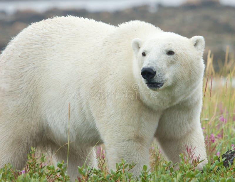 Ours blanc se tenant dans l'herbe 3 image libre de droits