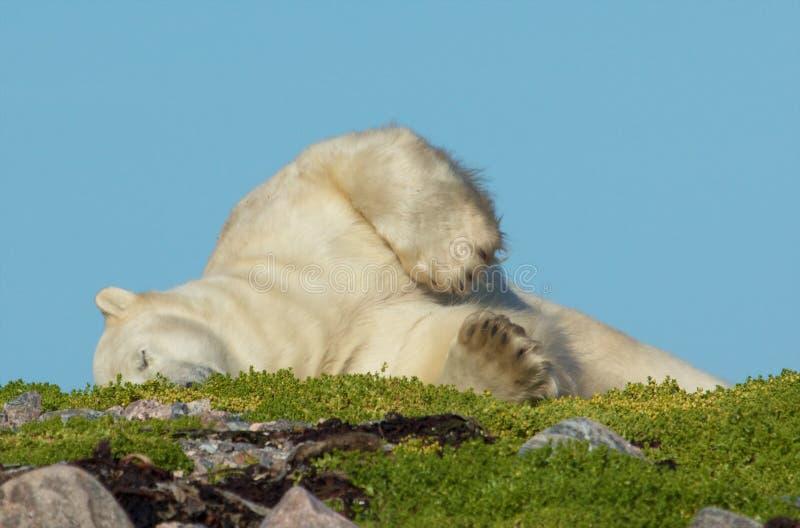 Ours blanc se vautrant sur l'herbe photo stock
