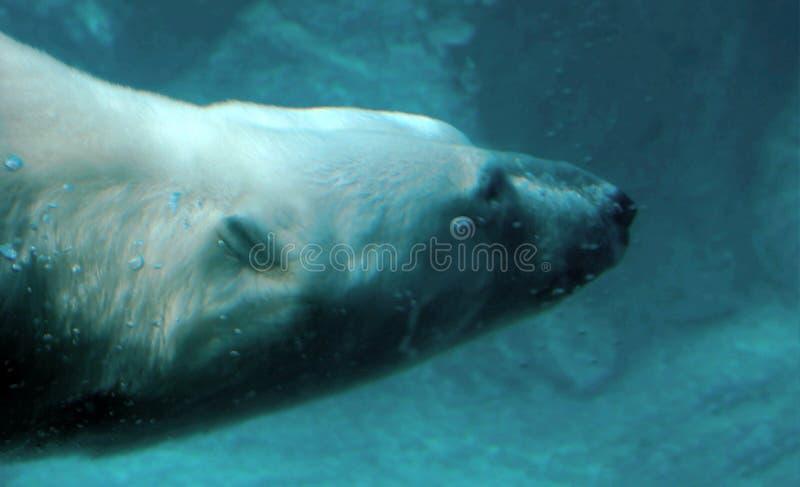 Ours blanc sous l'eau image stock