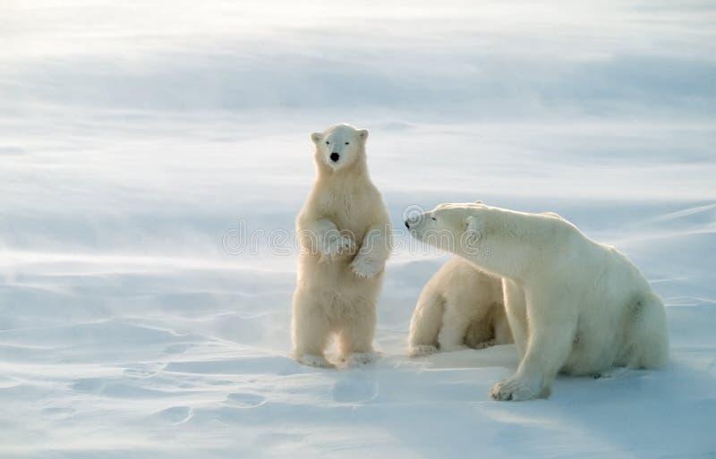 Ours blancs dans la tempête de soufflement de neige, orientation molle