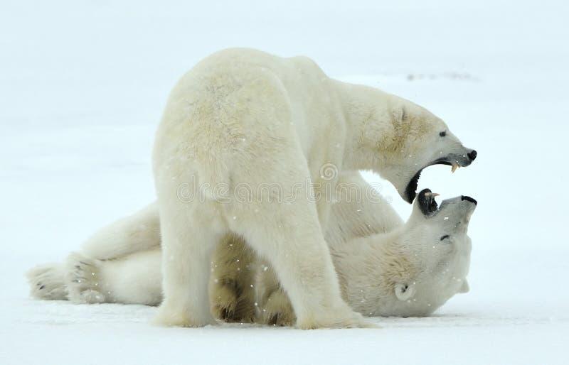 Ours blancs de combat (maritimus d'Ursus) sur la neige photo libre de droits