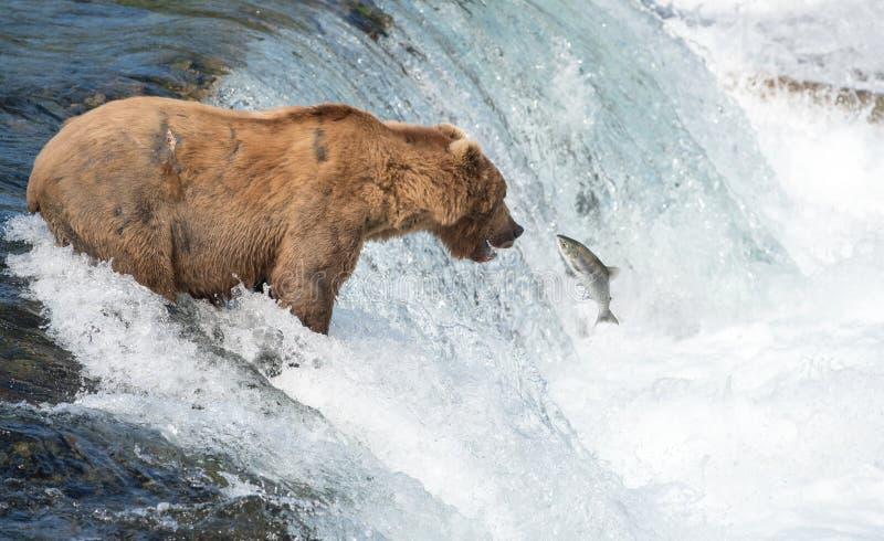 Ours brun d'Alaska essayant d'attraper des saumons photo libre de droits